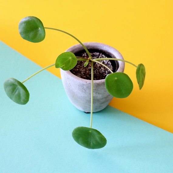 Why Pilea Will Be the Next Trending Houseplant