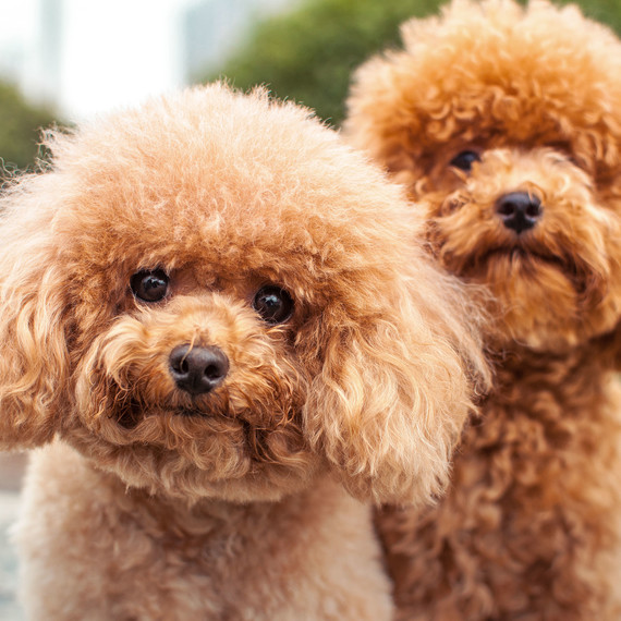 small-poodle-dogs.jpg