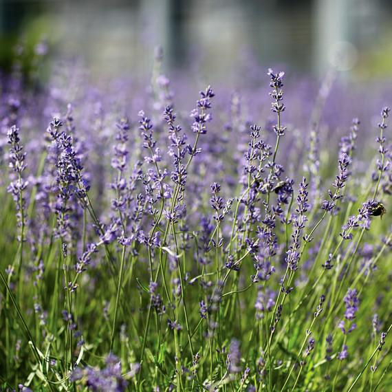 lavender-147-d112299.jpg