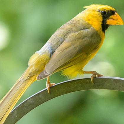 Another One-in-a-Million Yellow Cardinal Was Spotted in Tennessee