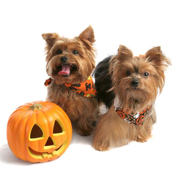 yorkies-with-pumpkin.jpg (skyword:345113)