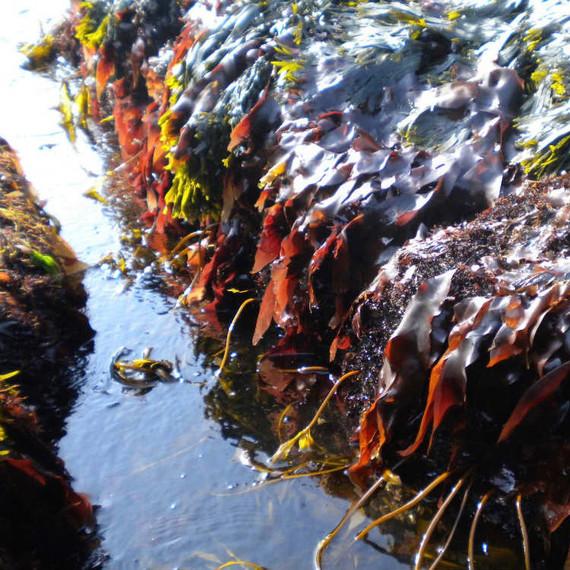 Fresh dulse seaweed
