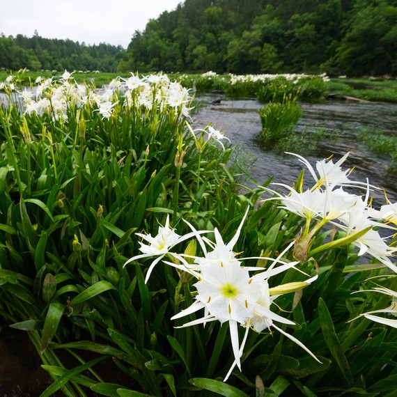 One of the South's Rarest Plants Is Currently in Bloom