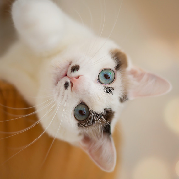 white-cat-tilting-head.jpg (skyword:345072)