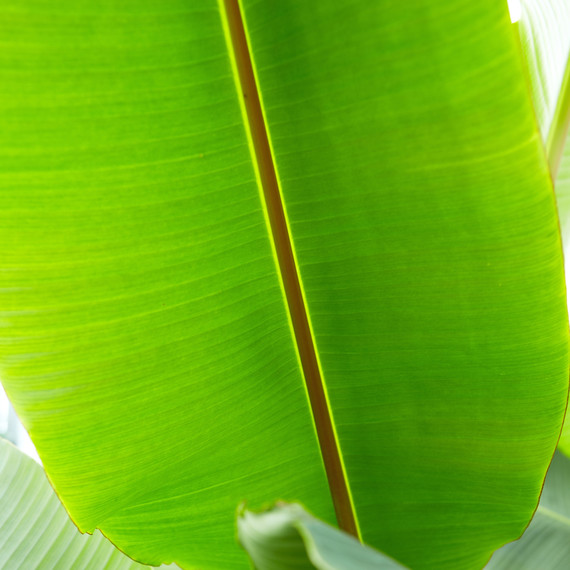 ld105278_0310_banana1218.jpg