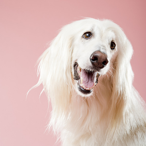 afghan-hound-dog-portrait.jpg