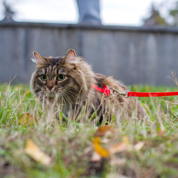 cat leash getty