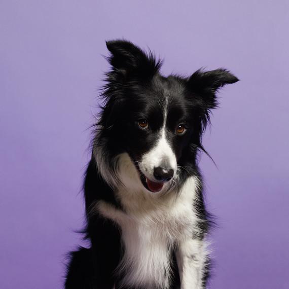 border-collie-dog-portrait.jpg