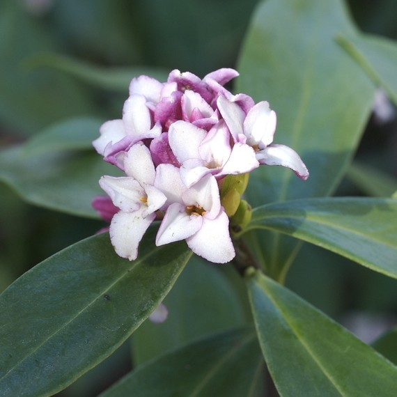 daphne-fragrant-plant-0416.jpg (skyword:267061)