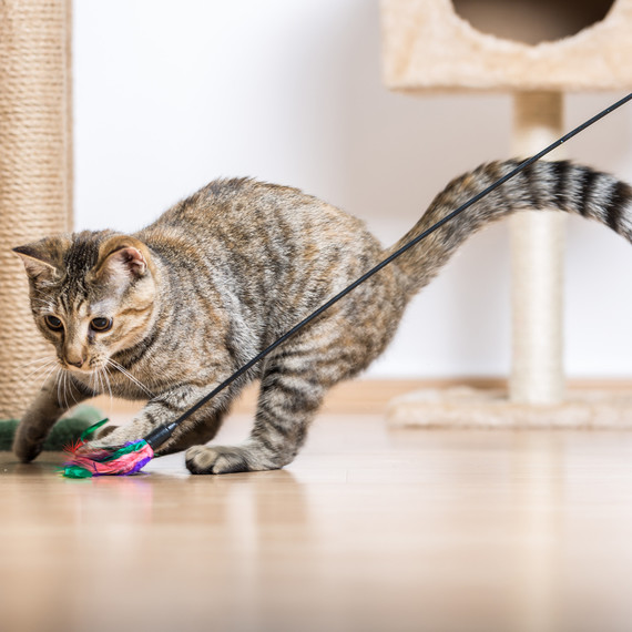 cat playing in living room