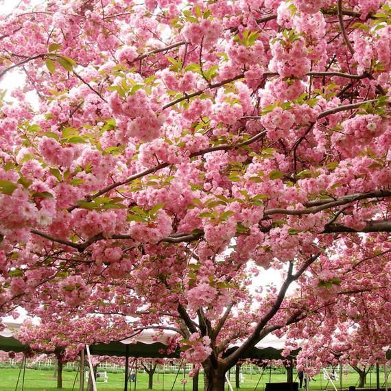 cherry-blossoms-nyc-02-0514.jpg
