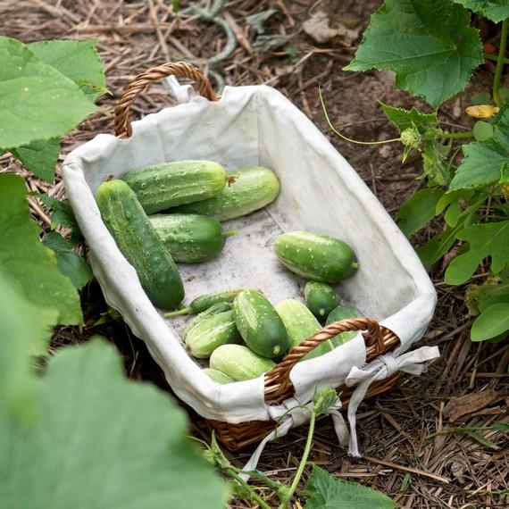Cucumber Basket Garden 0815