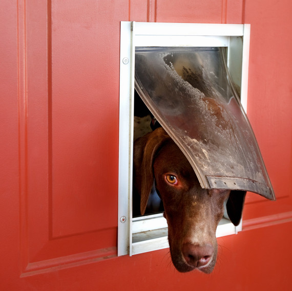 german pointer looking outside through doggie door