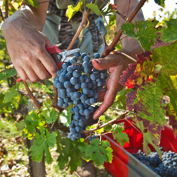 grape-harvest-bordeaux-1115.jpg (skyword:206964)
