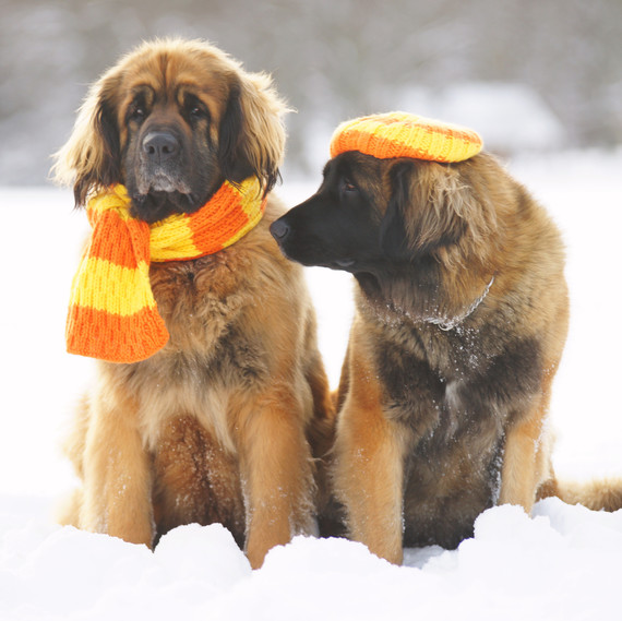 Leonberger dogs in knitwear