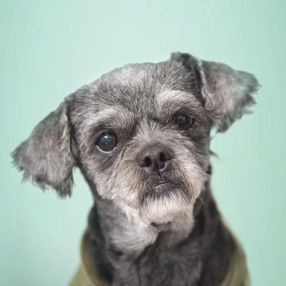 senior-maltese-dog-portrait.jpg