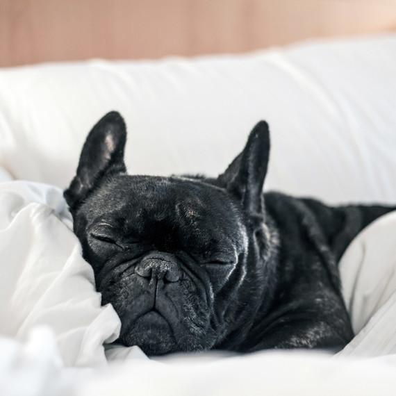 sleepy dog in hotel bed