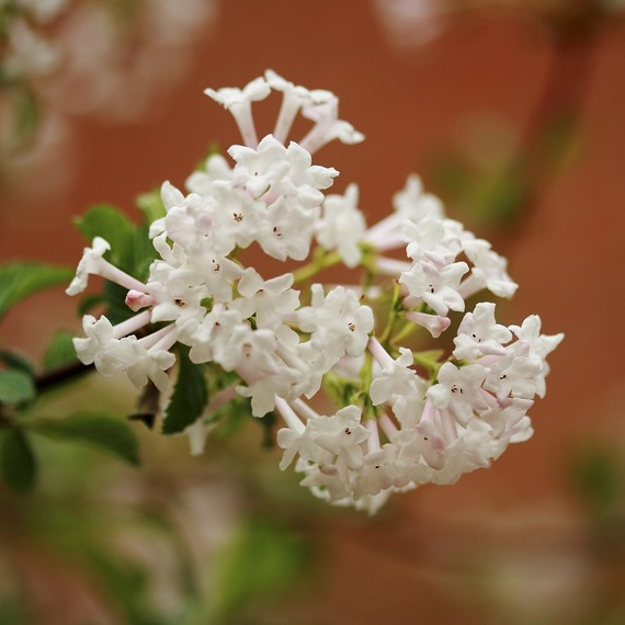 spring-flowering-shrub-0316.jpg (skyword:240257)