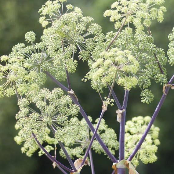 angelica-fragrant-plant-0416.jpg (skyword:267075)