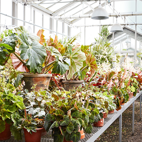 begonias in greenhouse