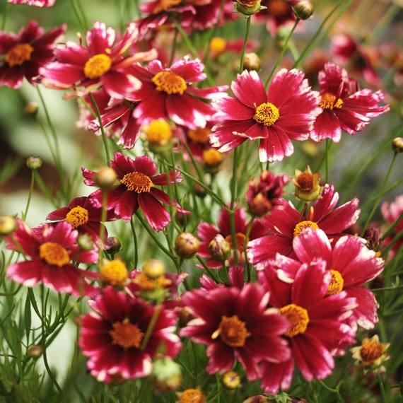 7 perennial flowers that add color to your summer garden martha coreopsis cranberry ice mightylinksfo
