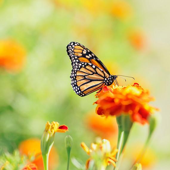 Monarch Butterfly Resting on Flower in Garden