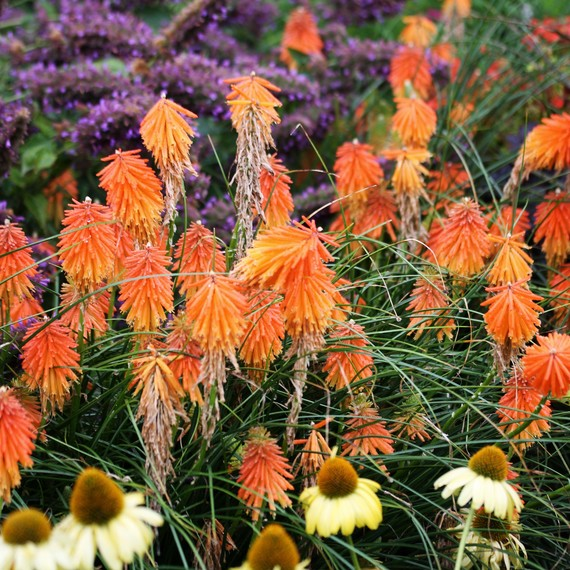 Perennial Flowers Color 0316