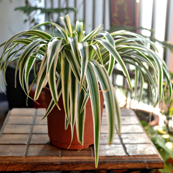 spider plant on patio