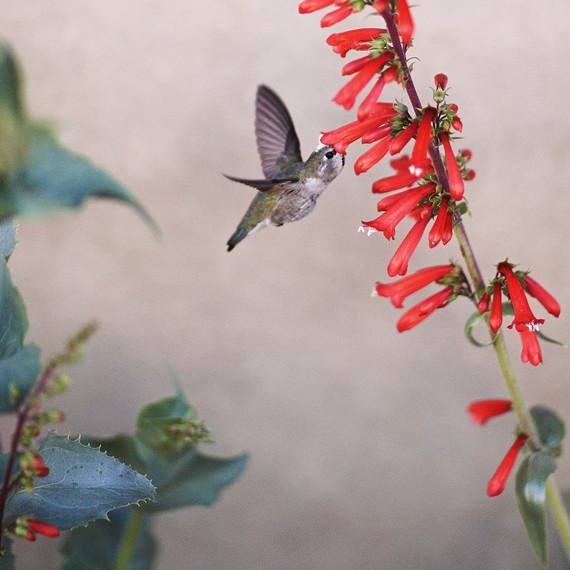hummingbird-flight-md20080319.jpg