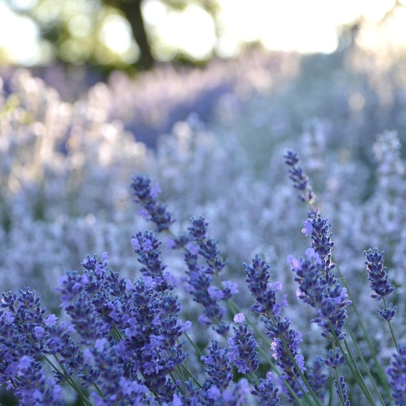 lavender-fragrant-plants-0416.jpg (skyword:267055)