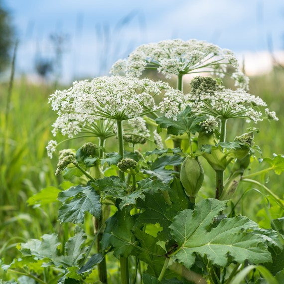 giant hogweed harmful