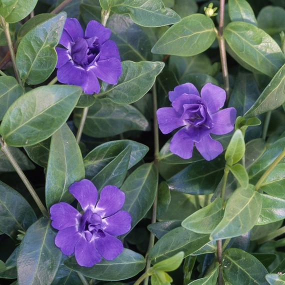 Periwinkle plant with purple flowers