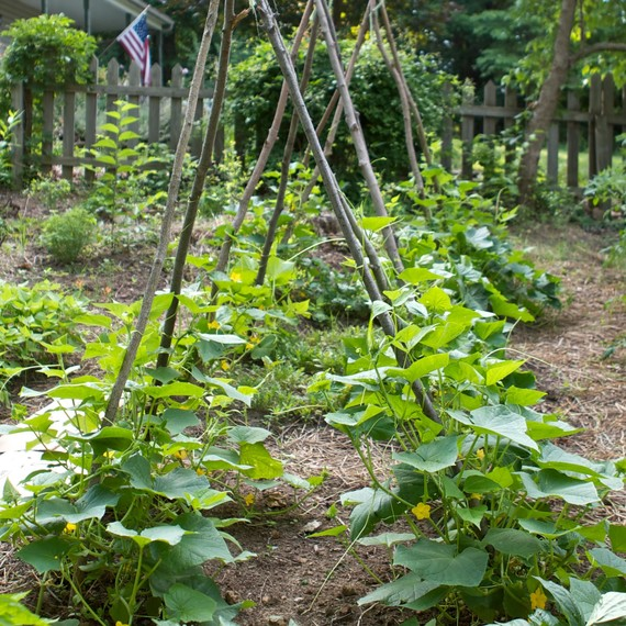 multiple-cucumber-teepees-0815