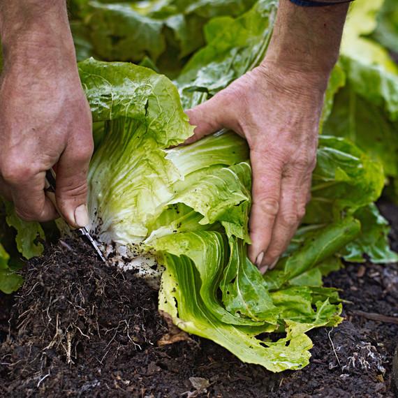 picking lettuce