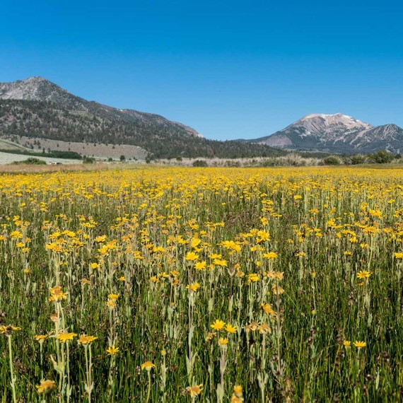 A Massive Wildflower Bloom Is About to Arrive in California's Mountains