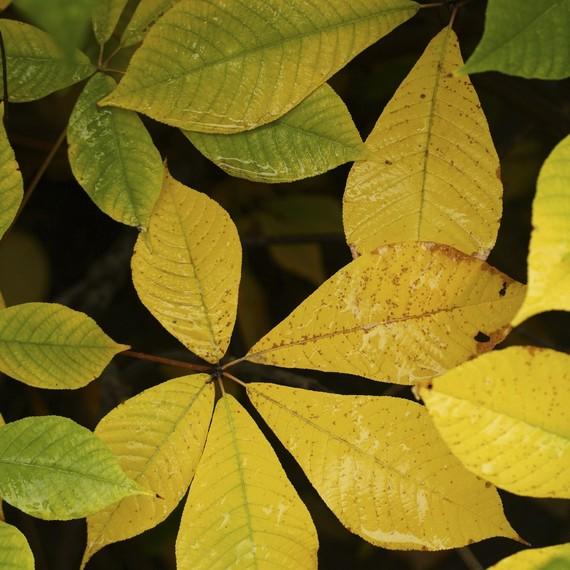 Aesculus-parviflora-yellow-0316.jpg (skyword:242024)