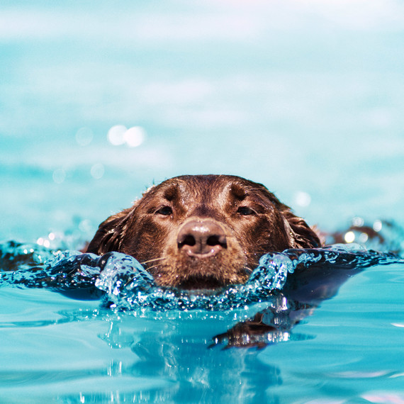 lab dog swimming pool
