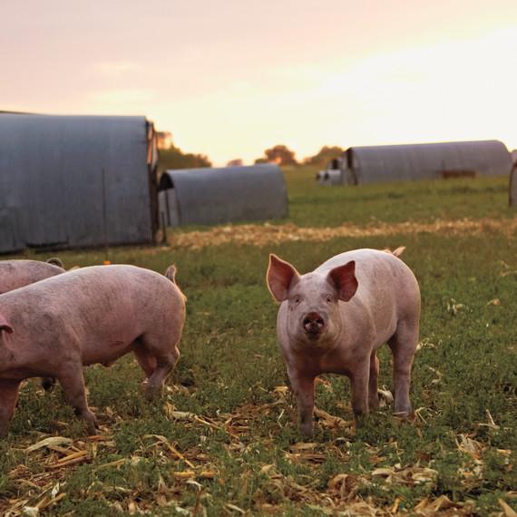 pig-farm-iowa-06a6099-mld109360.jpg