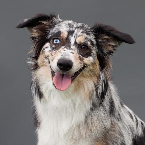 australian-shepherd-dog-portrait.jpg