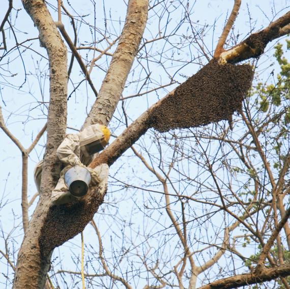 beekeeper-climbing-tree