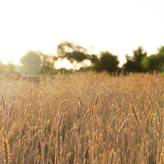 hayden-flour-mills-sunrise-wheat.jpg