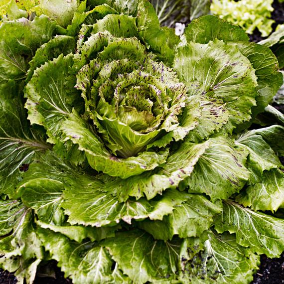 lettuce in ground