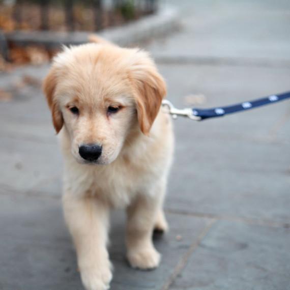 golden-retriever-puppy-leash-0415.jpg