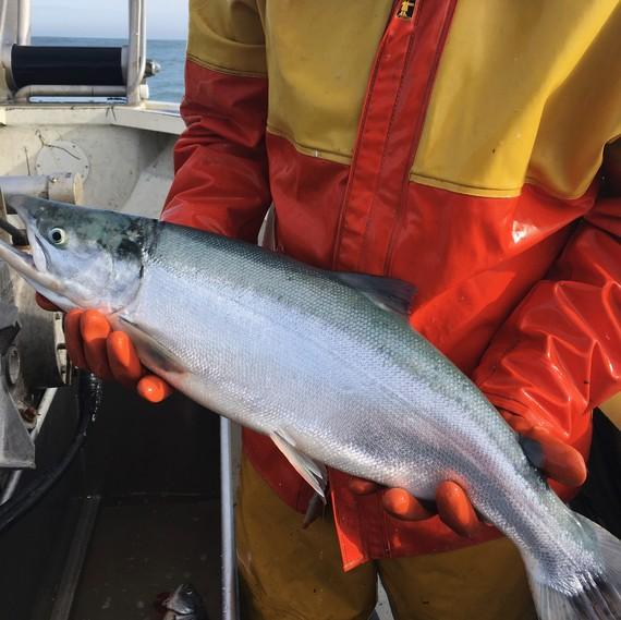 fisherman holding sockeye salmon