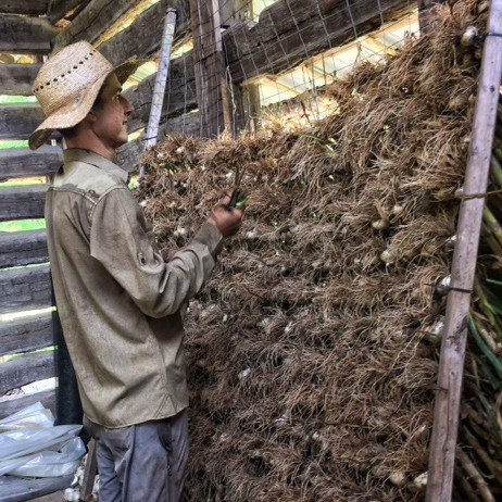 drying garlic at ten mothers farm