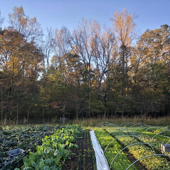 fall harvest garden crop rows
