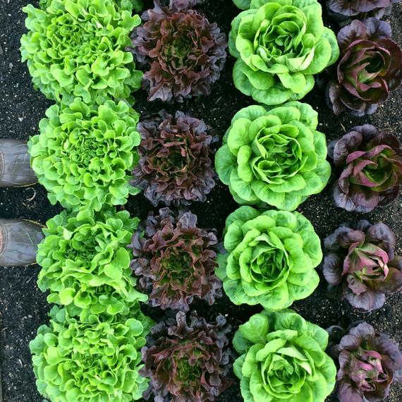 row lettuce ten mothers farm