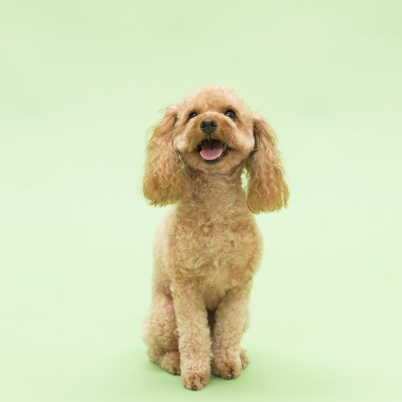 light-brown-dog-toy-poodle