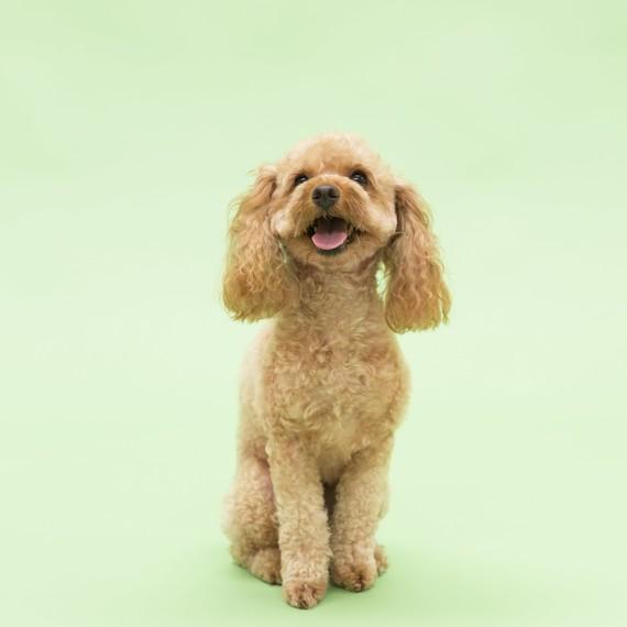 light-brown-dog-toy-poodle