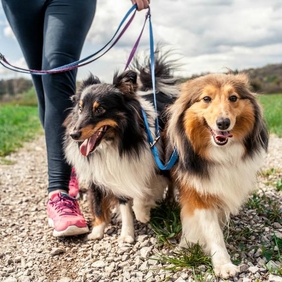 Image of: Senior Shepherd Dogs Walking On Leash Martha Stewart Study Says Dog Owners Walk 22 Minutes More Day Martha Stewart